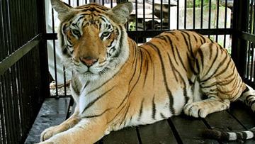 Phân tích hình tượng nhân vật con hổ trong bài Nhớ rừng của Thế Lữ